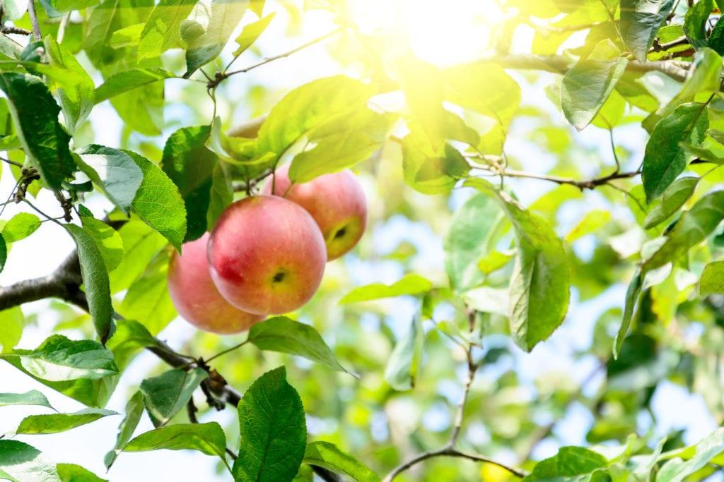 Rama de manzanas maduras en un jardín.