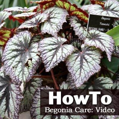 Cómo cuidar una begonia: Video -