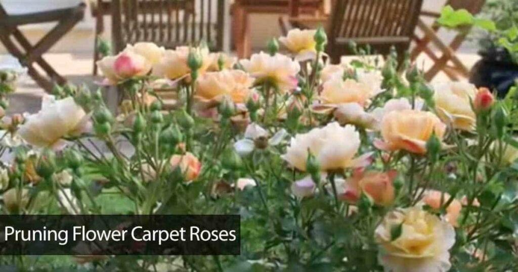 prune carpet roses