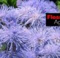 Cómo cultivar Ageratum Houstonianum
