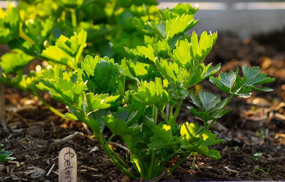 Cómo cultivar apio ⋆ Big Blog Of Gardening