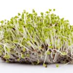 Cómo cultivar brotes fácilmente en casa usando un tarro de albañil