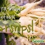 Cómo cultivar chirivías perfectas