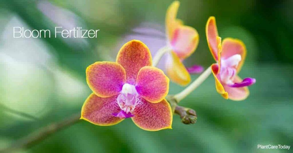 Las flores de las orquídeas necesitan fertilizante para tener tallos fuertes y flores duraderas