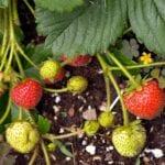 Cómo cultivar fresas en tu jardín ⋆ Gran blog sobre jardinería