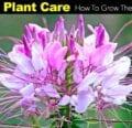 Cómo cultivar la flor de araña