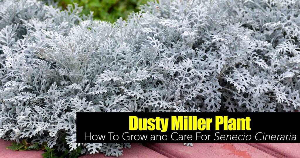 dusty miller plant