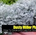 Cómo cultivar la planta de polvo Senecio Cineraria