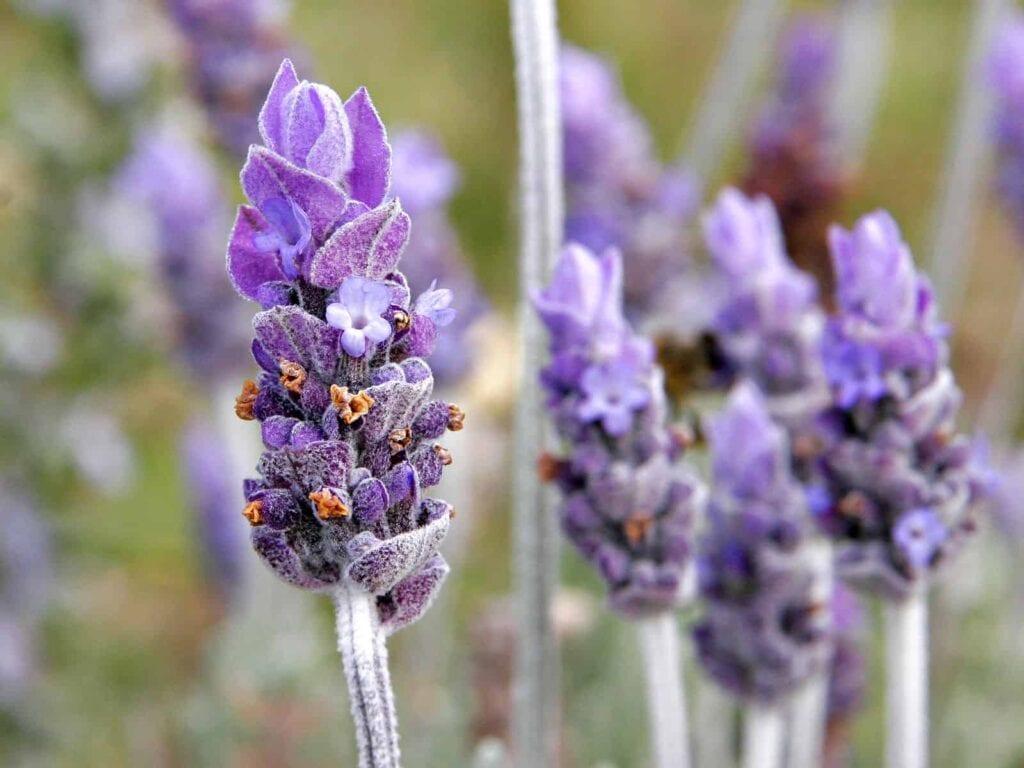 Cómo cultivar lavanda ⋆ Big Blog Of Gardening