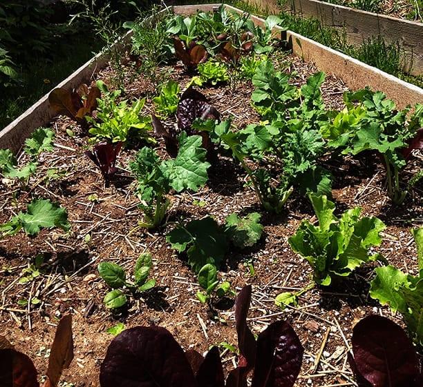 Cómo cultivar lechuga, espinaca, col rizada y otras verduras de hoja verde ⋆ Gran blog sobre jardinería