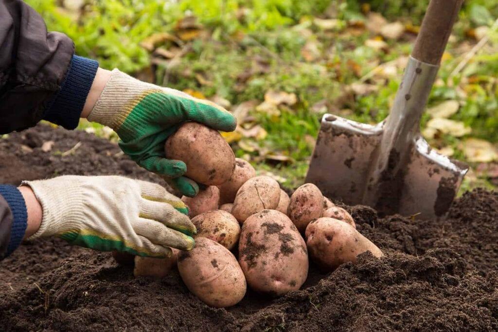 Cómo cultivar patatas en tu jardín ⋆ Gran blog sobre jardinería