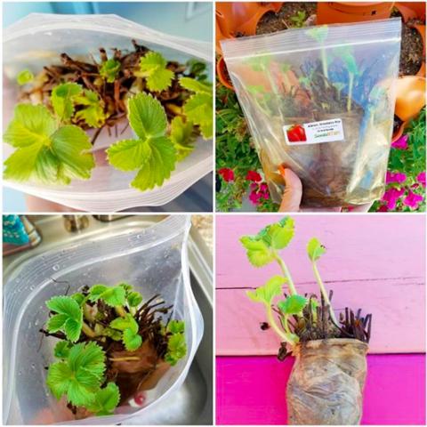 Cómo cultivar plantas de fresa orgánicas a partir de raíces desnudas