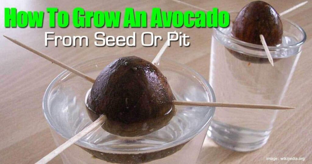 grow-avocado-103114
