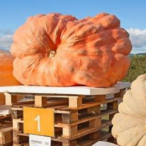 ¡Cómo cultivar una calabaza gigante de tamaño mundial!
