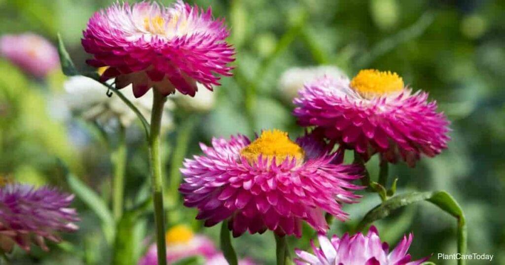 Blooms of the Strawflower Everlasting Flower