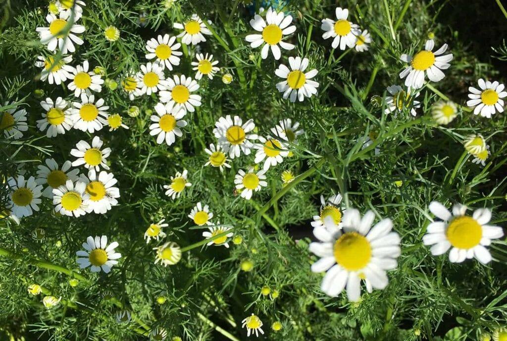 Cómo cultivar y cosechar manzanilla ⋆ Big Blog Of Gardening