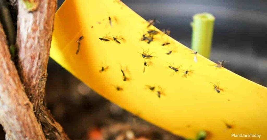 Closeup of fungus gnats being stuck to yellow sticky tape