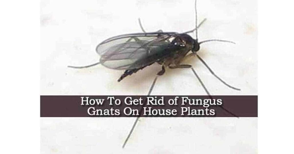 fungus-gnats-09302016