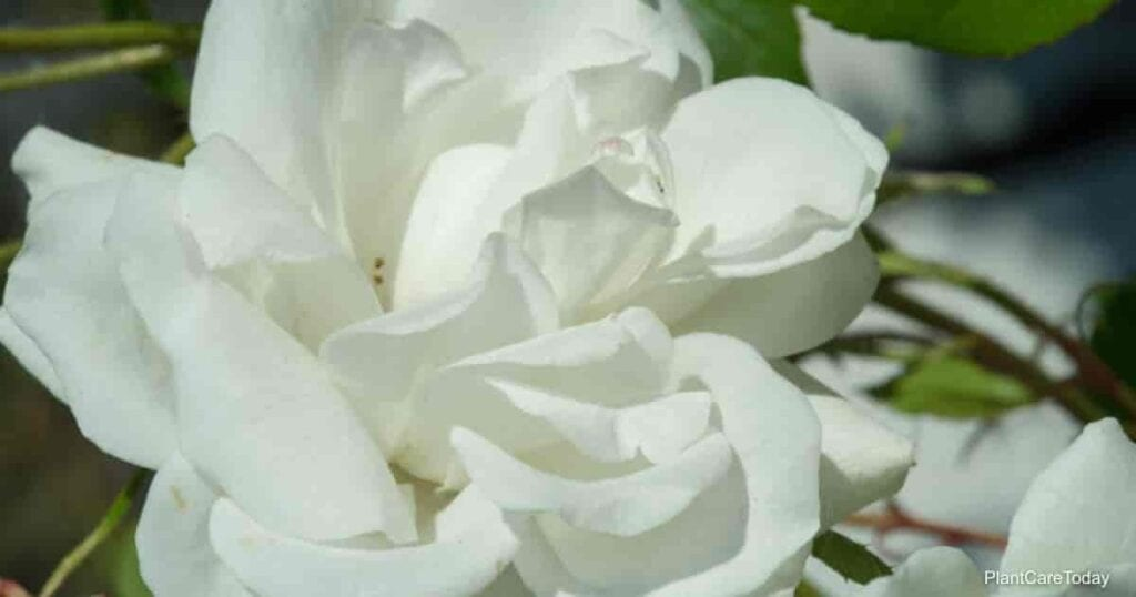 Gardenia flower with beautiful large fragrant flowers