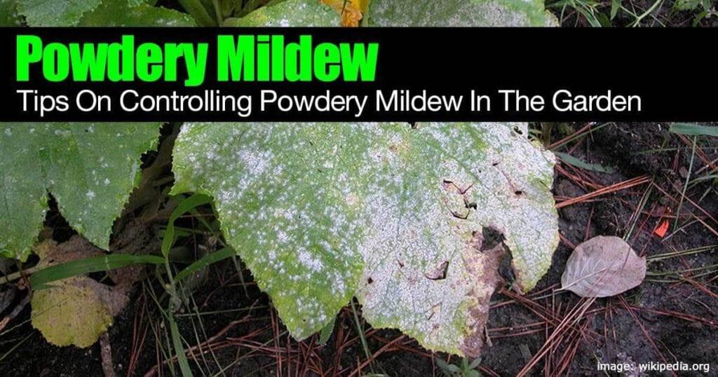 Cómo deshacerse del mildiú polvoriento en el jardín