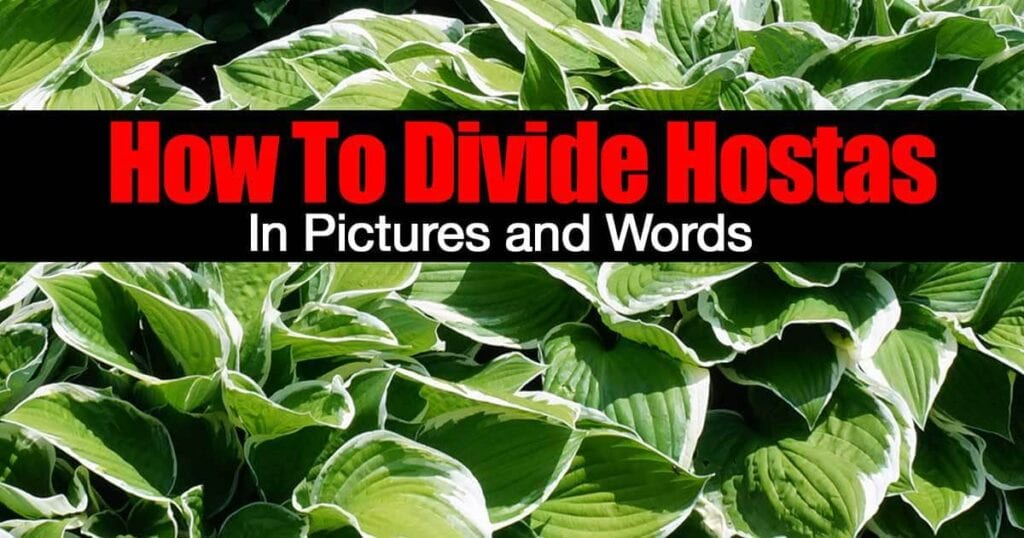 divide-hostas-01312016