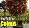 Cómo hacer crecer el coleo como un árbol.