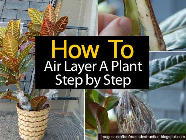 air-layering a croton step by step