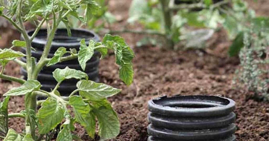 deep-water-tomatoes-08312015