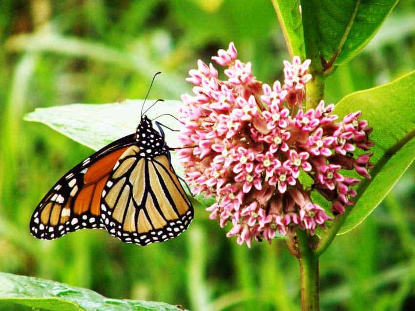 Cómo los jardineros domésticos pueden salvar a la mariposa monarca ⋆ Gran blog sobre jardinería