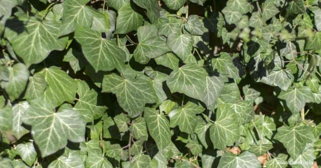 the invasive english ivy