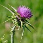 Cómo matar las malas hierbas del cardo sin herbicidas ⋆ Big Blog Of Gardening