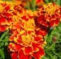 Cómo plantar, cultivar y cuidar las caléndulas