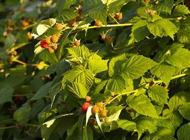 Cómo podar frambuesas y moras ⋆ Gran blog de jardinería