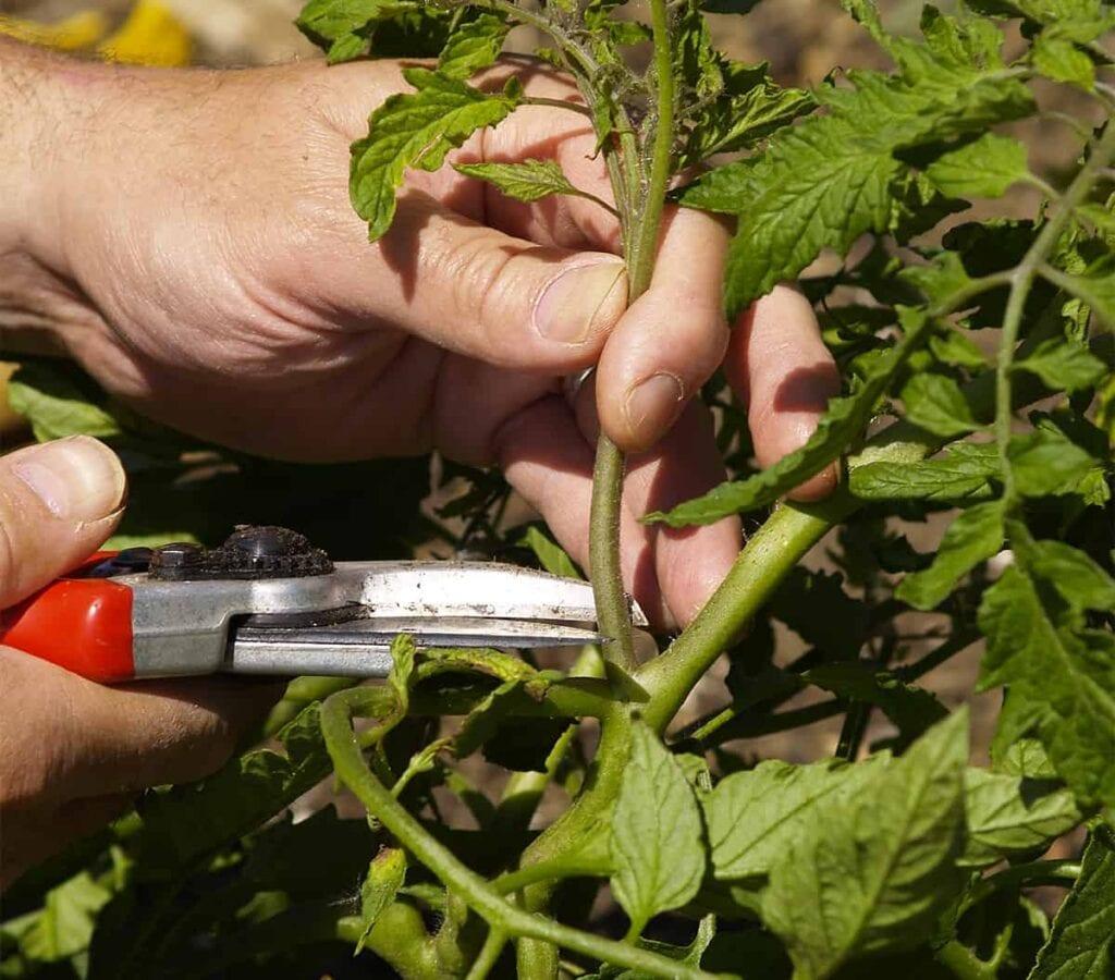 Cómo podar las plantas de tomate ⋆ Great gardening blog