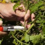 Cómo podar las plantas de tomates
