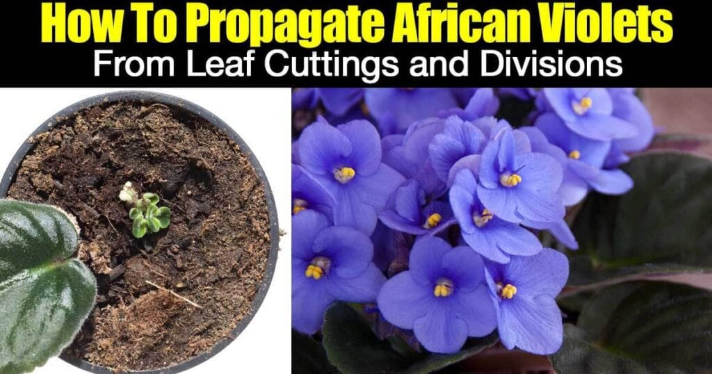 african violets propagation from leaf