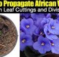 Cómo propagar violetas africanas a partir de cortes y divisiones de hojas.
