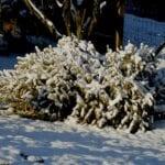 Cómo reciclar tu árbol de Navidad después de las vacaciones ⋆ Big Blog Of Gardening