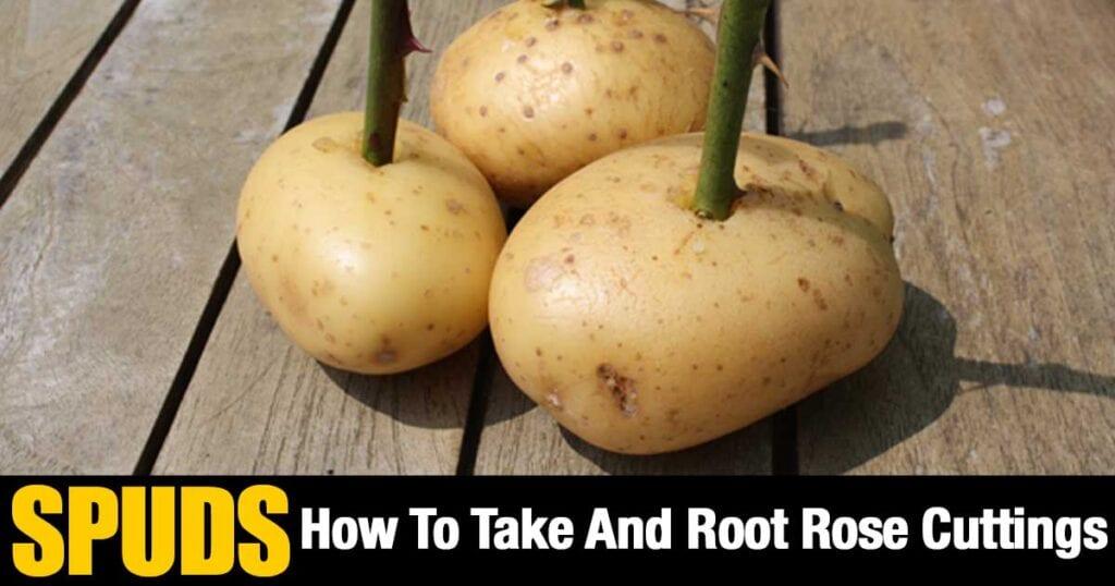 roots-roses-potatoes-07312015