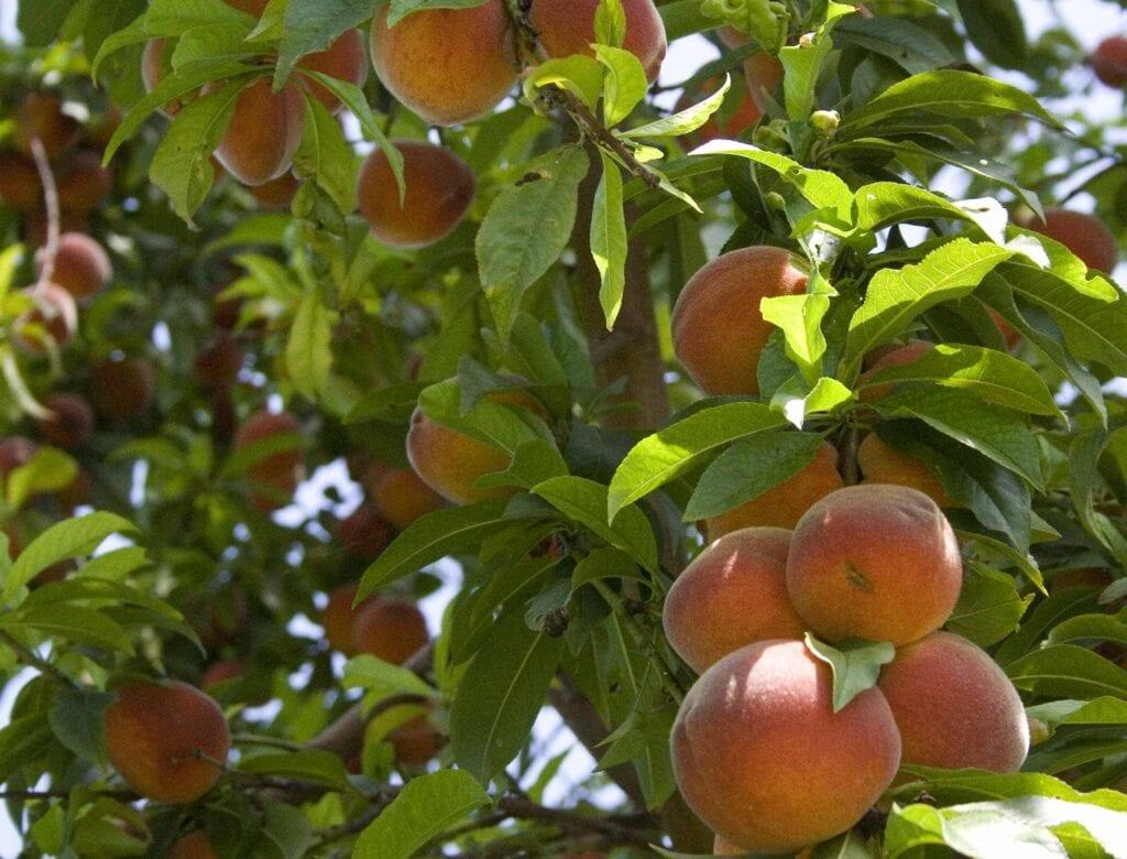 Cómo seleccionar árboles frutales y arbustos saludables ⋆ Gran blog sobre jardinería