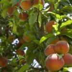 ¿Qué árboles frutales y arbustos saludables comprar?