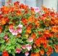 Conozca los requisitos de crecimiento de las plantas de Nemesia