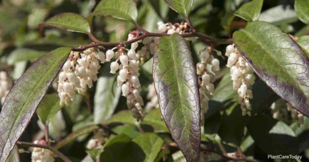 Blooming Leucothoe Plant