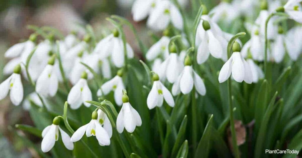 Dainty blooms of the Snowdrop Flower (Galanthus) plant