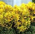 Consejos para cultivar plantas de croton al aire libre