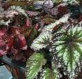 Consejos para cultivar plantas de interior de Rex Begonia