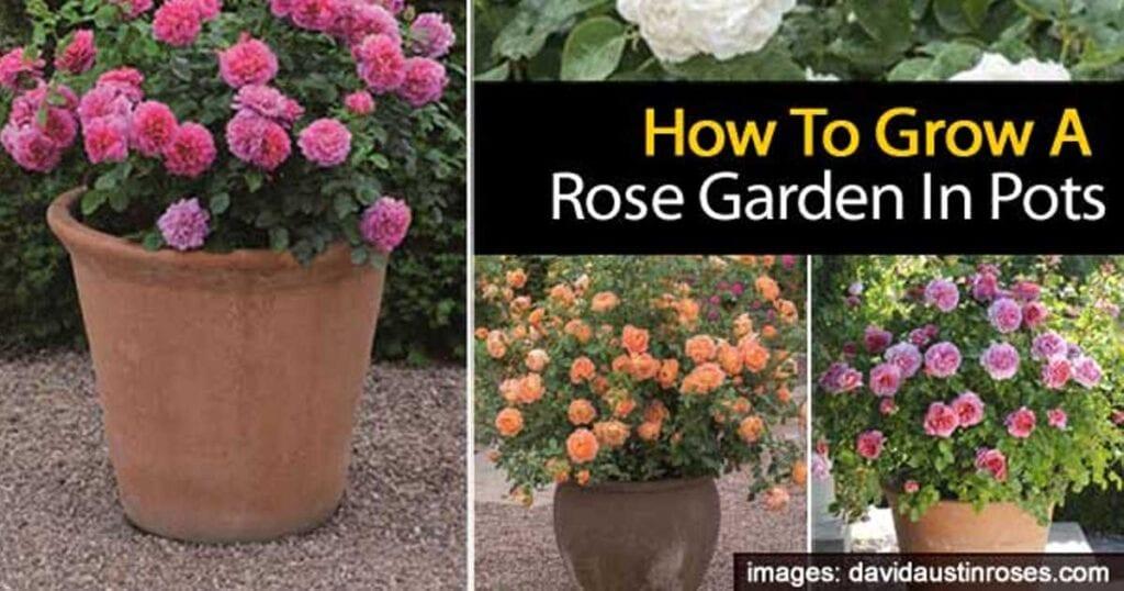 rose-pots-12312015
