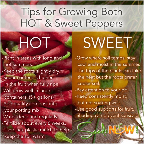 Consejos para germinar semillas de pimiento picante y dulce