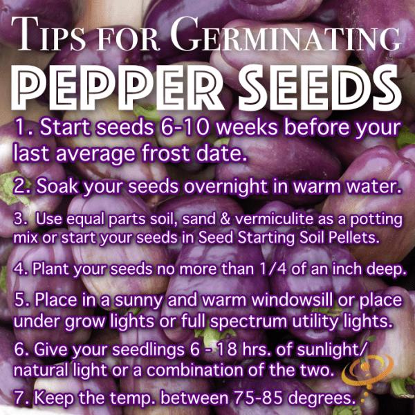 Consejos sobre cómo germinar con éxito semillas de pimiento picante