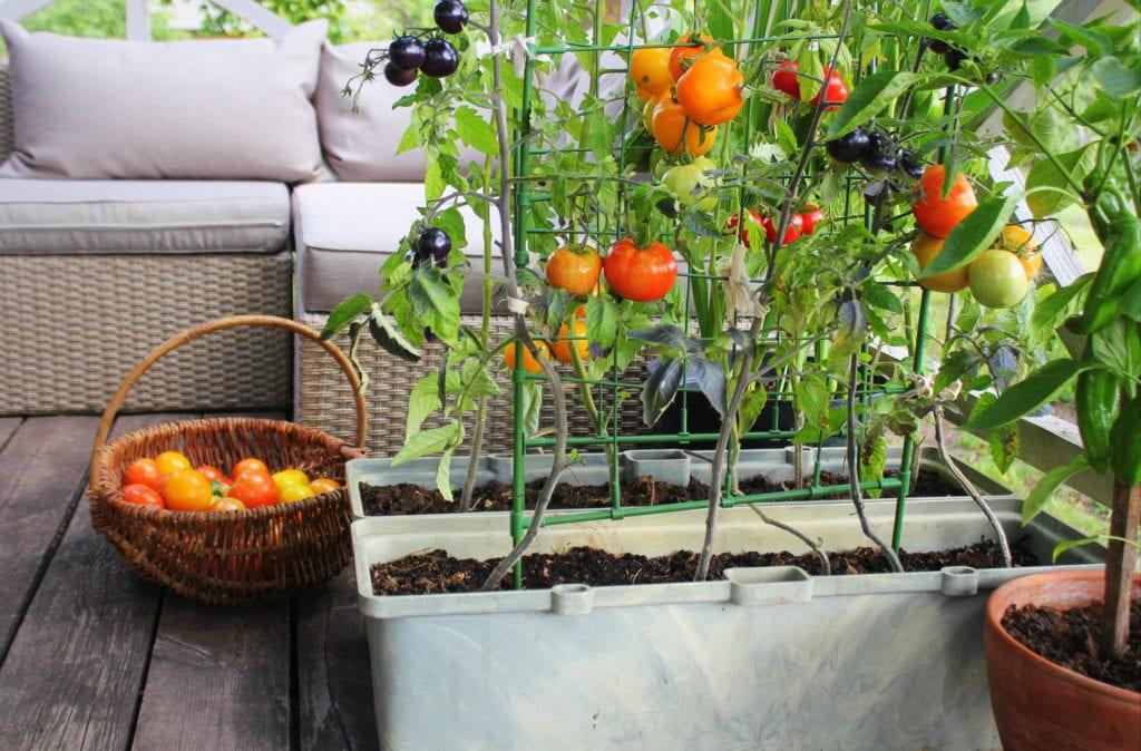 Jardinería de hortalizas en contenedores.  Huerta en una terraza.  Tomates rojos, naranjas, amarillos y negros que crecen en un contenedor